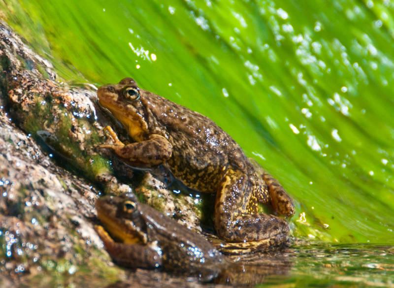 Southern mountain yellow-legged frog (Rana muscosa).