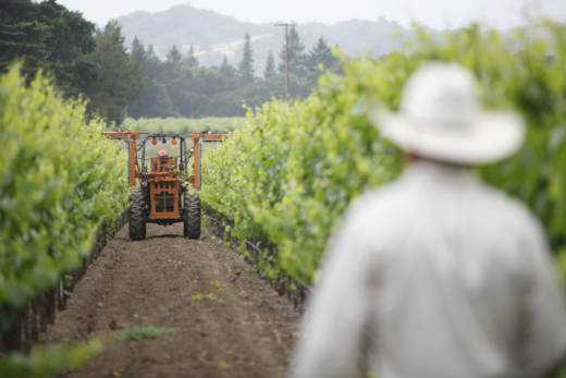 A vineyard worker for a Napa Valley winemaker looks on as a tractor trims grapevine branches.