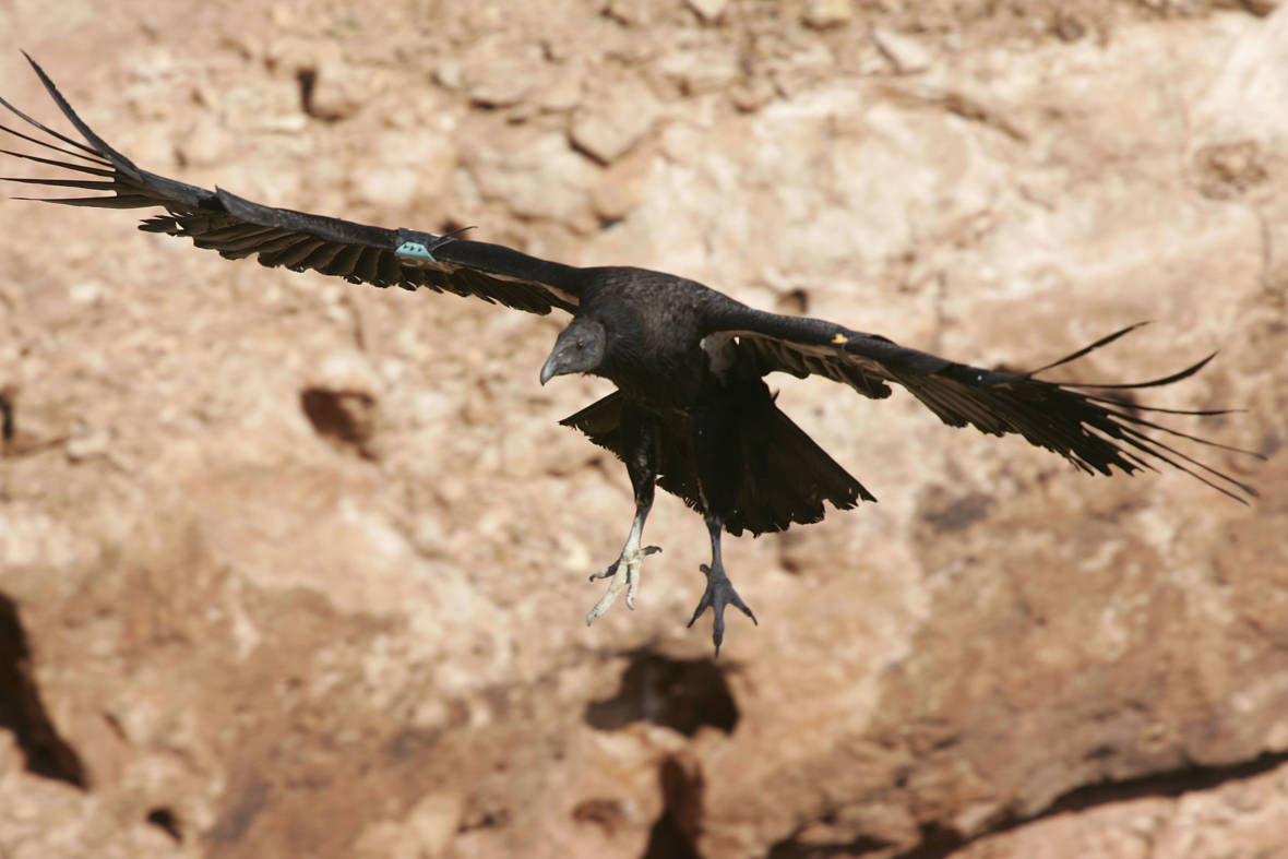 California Condors Return to the Skies After Near Extinction