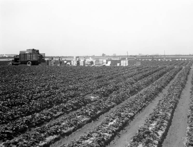 Farm field in Orange County, 1930s.