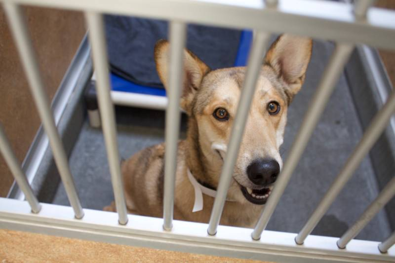 A dog, whose owner evacuated, receives free emergency boarding at the Marin Humane Society in Novato, California on Oct. 10, 2017.