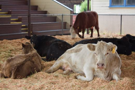The Sonoma-Marin Fairground evacuation center temporarily houses cows whose owners have evacuated in Petaluma, California on Oct. 10, 2017.