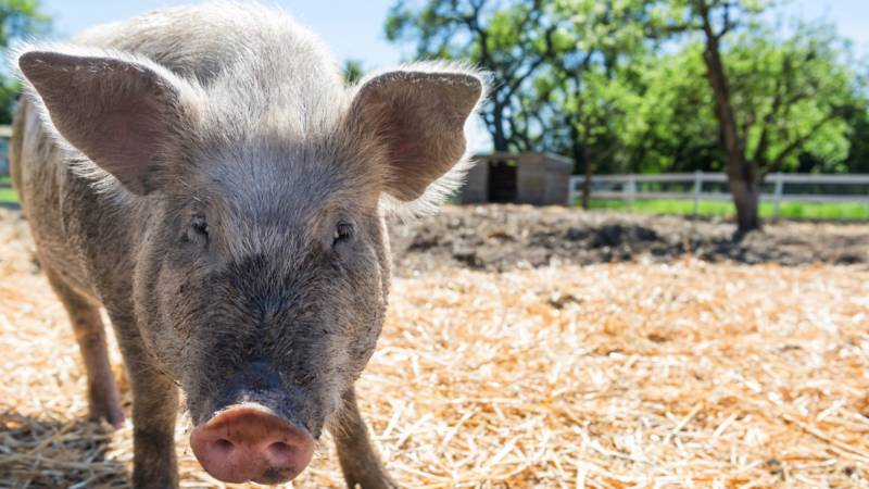Punky and her buddy Gertrude have found refuge from the North Bay Fires in Half Moon Bay at Sweet Ranch, a non-profit farm animal sanctuary.