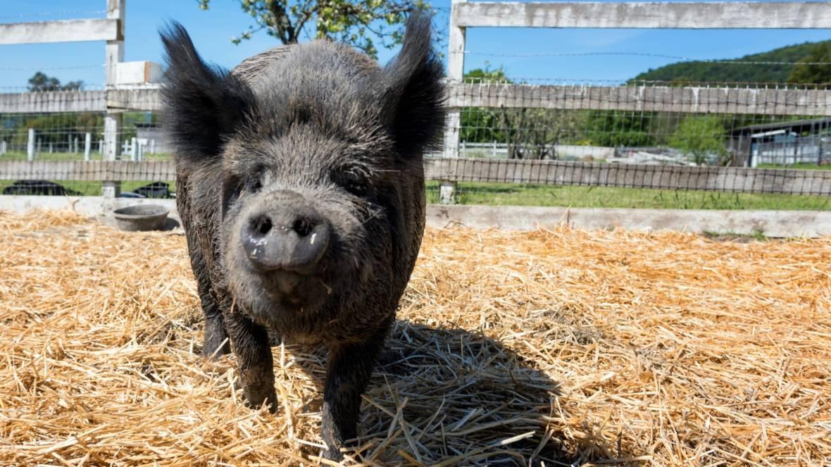 Pigs Fleeing North Bay Fires Find Refuge in Half Moon Bay
