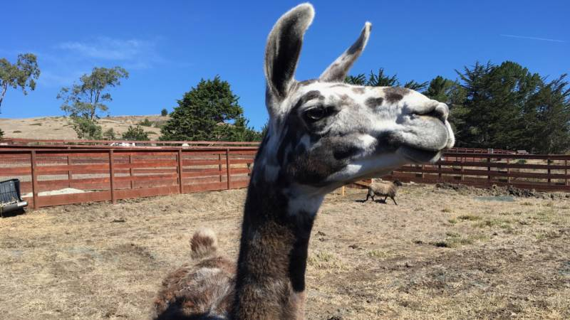 Paco the llama is almost 10 years old and good friends with the steers and horse at Sweet Farm. The reasons why animals end up at a sanctuary are as varied as the animals themselves. Paco came from a horse farm where he was getting attacked by neighborhood dogs.
