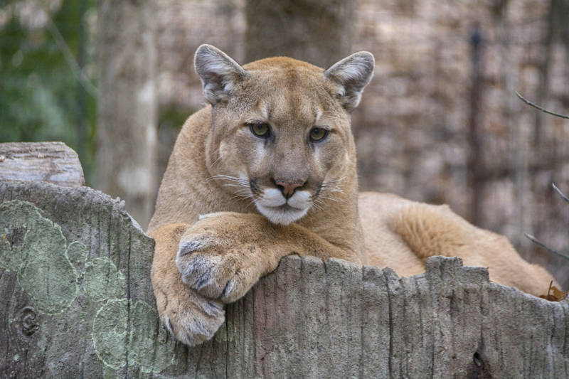 Mountain lions are tawny in color. Females can weigh 80 to 85 pounds and males can be as big as 150 pounds.