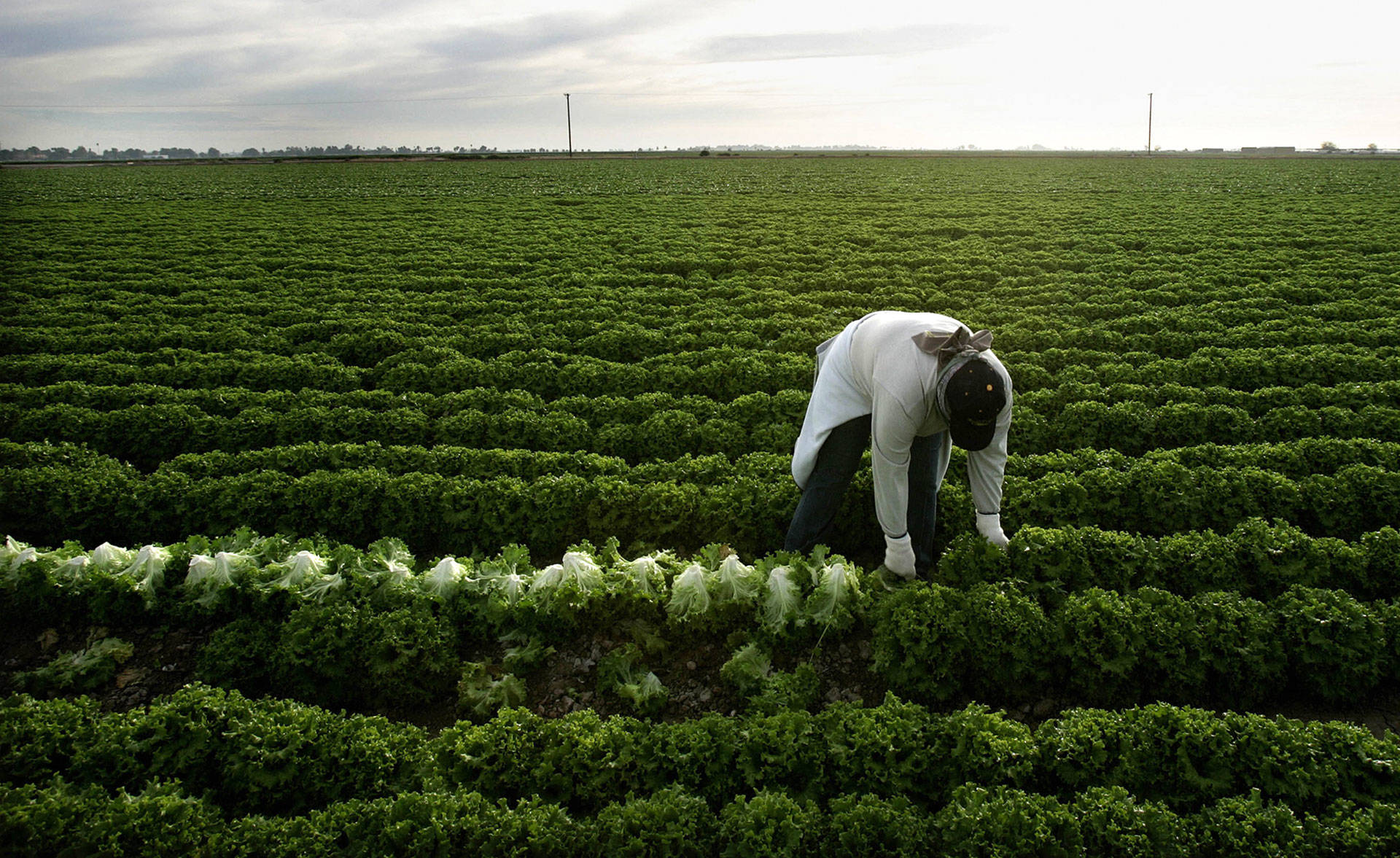 A farmworker harvests lettuce near Calexico. HECTOR MATA/AFP/Getty Images
