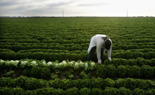 A farmworker harvests lettuce near Calexico.