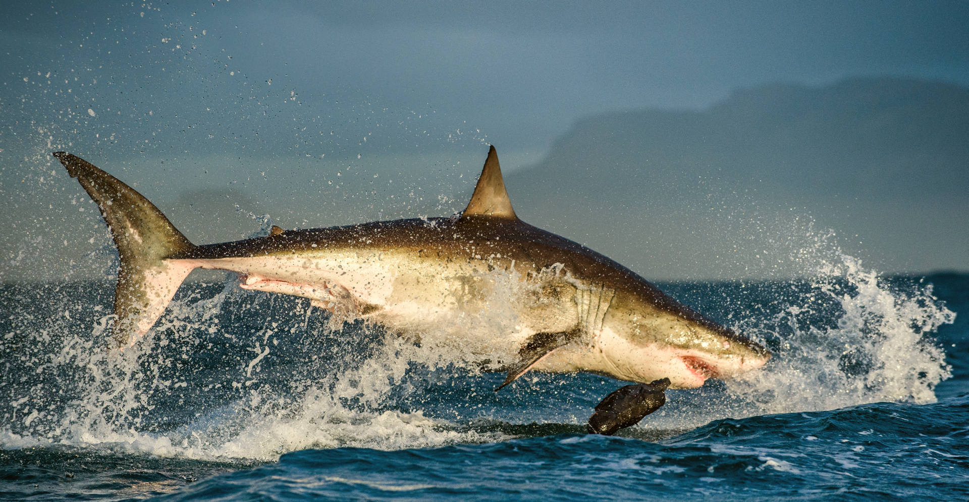 A White Shark leaps out of the water.