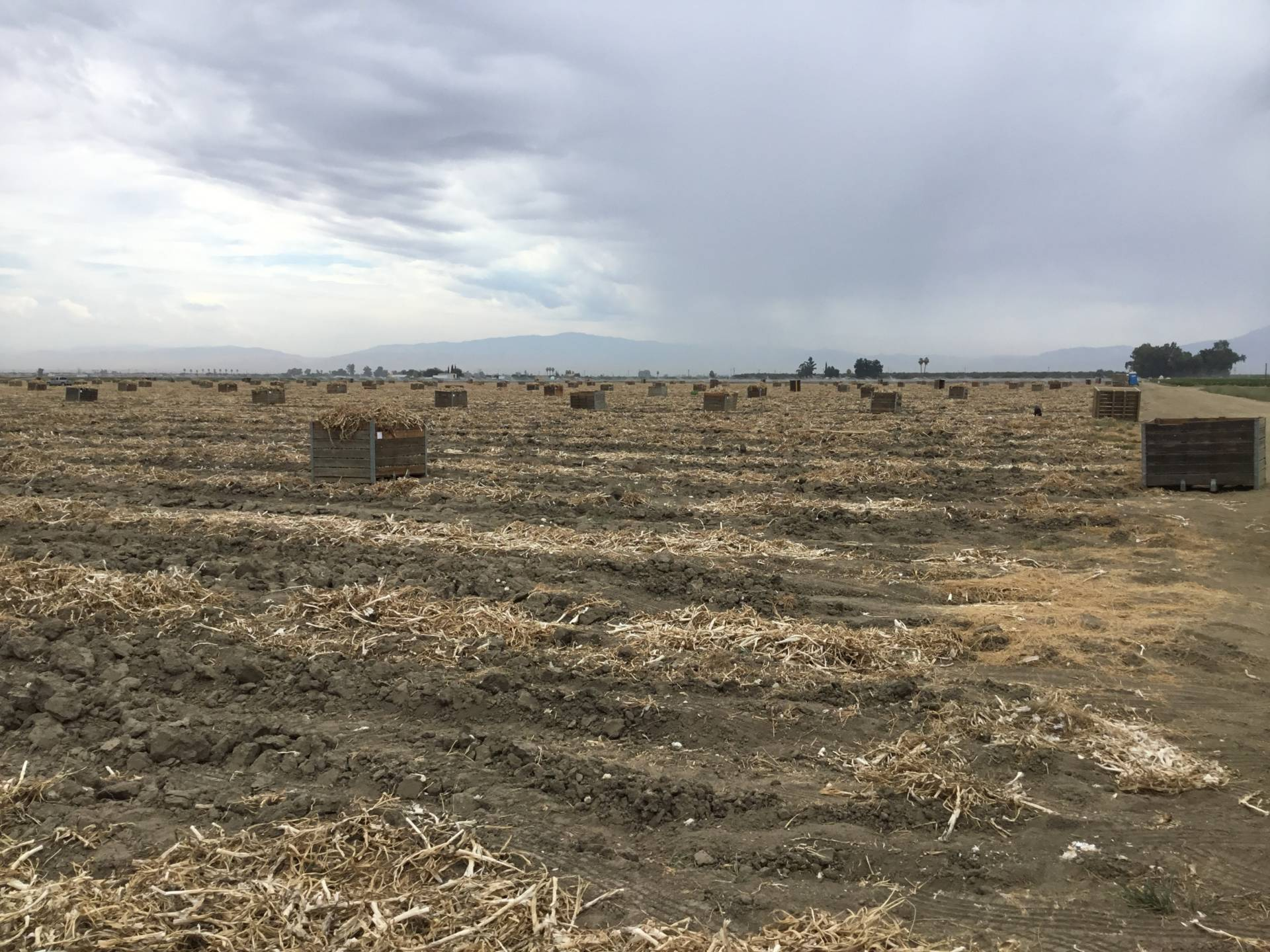A garlic field where 92 farmworkers were sickened after being exposed to pesticide drifting from a nearby site in August 2017.  Kern County Department of Agriculture
