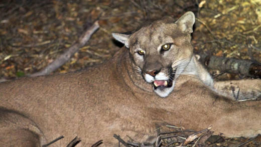 In 2016, a Malibu rancher received a permit to shoot a mountain lion that had killed nearly a dozen alpacas. The 150-pound cat was believed to be this radio-tagged male, dubbed P-45.