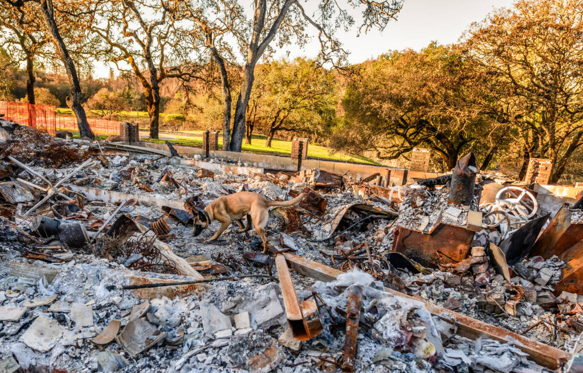 Searching for Ashes Within Ashes -- Dog Teams Hunt for Human Cremains in Wildfire Wreckage