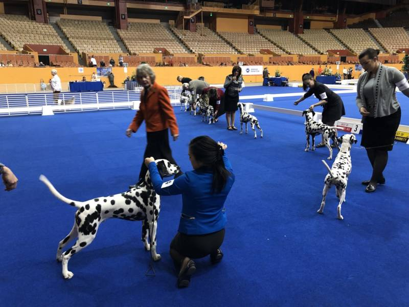 Judge Anne Bolus takes a look at several Dalmatians competing in their breed category.