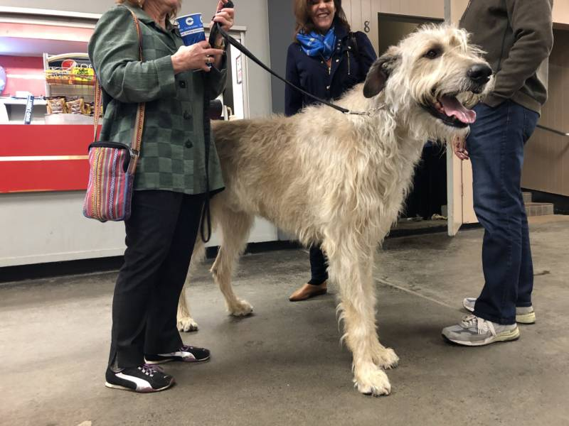 Irish Wolfhound Phalen and his owner take a break from the competition at the concession stand.