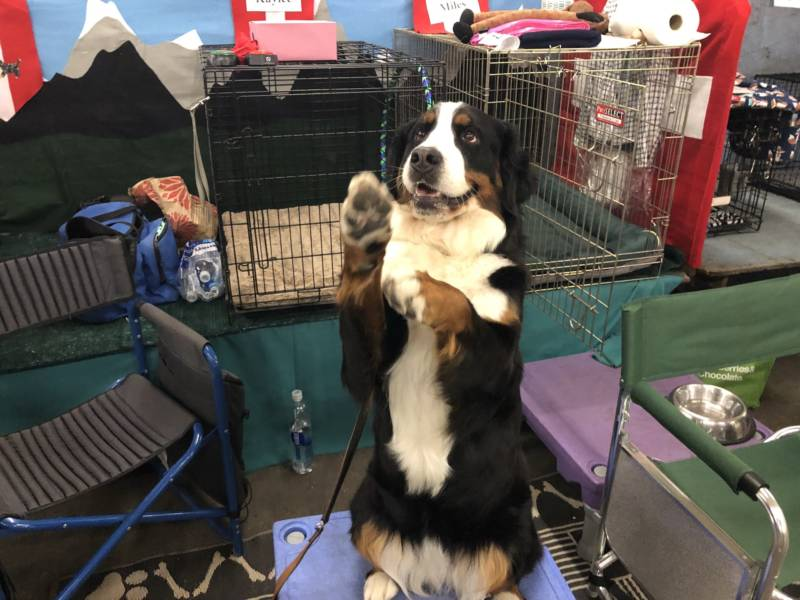 Kaylee, a Burmese Mountain Dog from Castro Valley, shows off some her tricks.