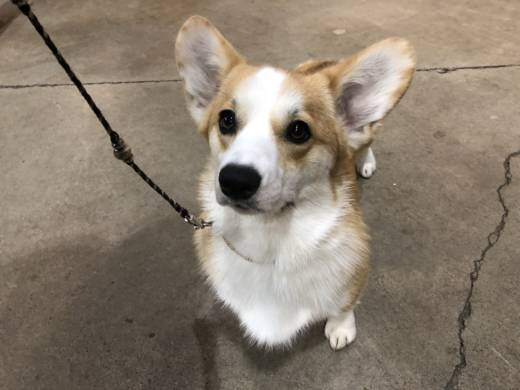 Beignet, a one-year-old Pembroke Welsh Corgi sits at the Golden Gate Kennel Club Dog Show at the Cow Palace in Daly City on Sunday, January 28, 2018. Beignet has been competing since she was six months old.