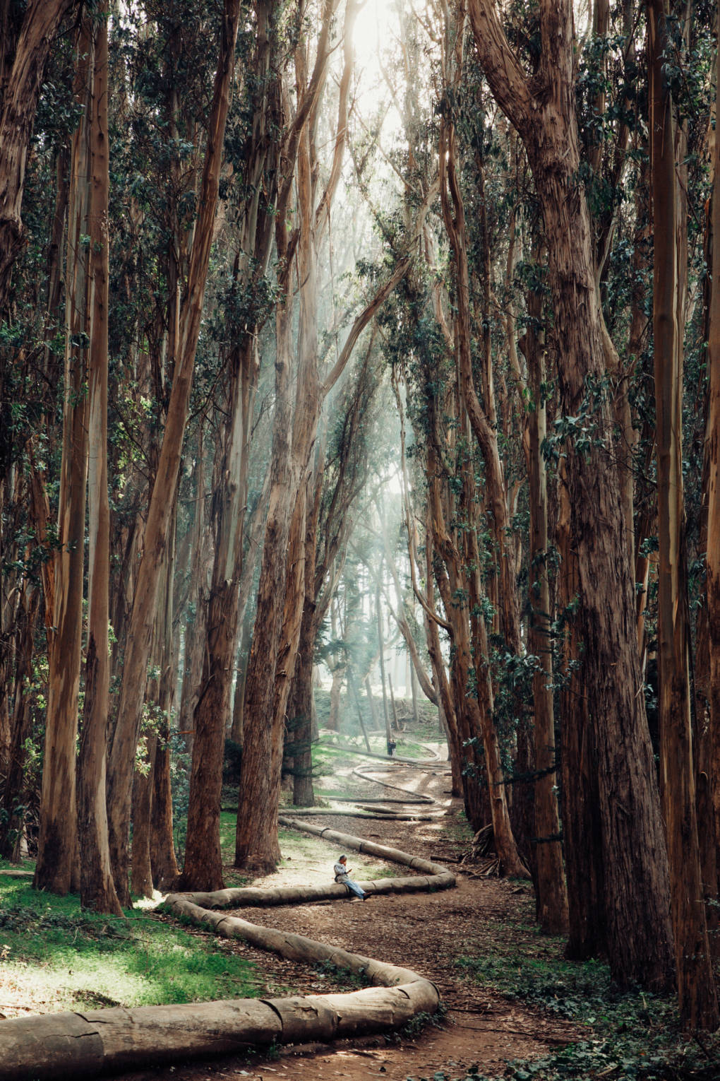 To some, the scent of eucalyptus trees is simply the scent of California.