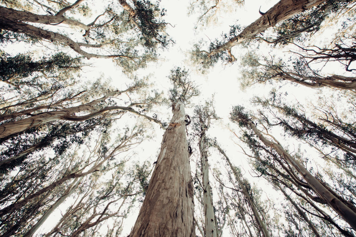 Eucalyptus: How California's Most Hated Tree Took Root