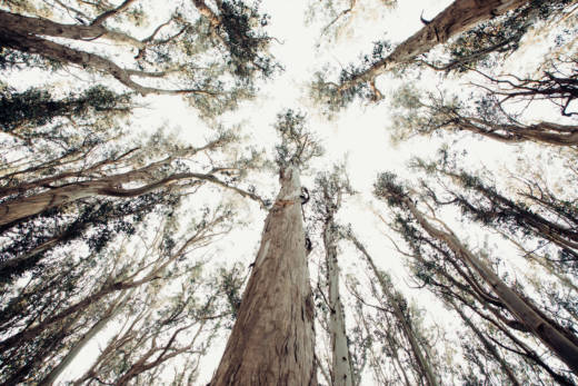 Eucalyptus trees grow fast, sometimes putting on four to six feet in height in a single year.