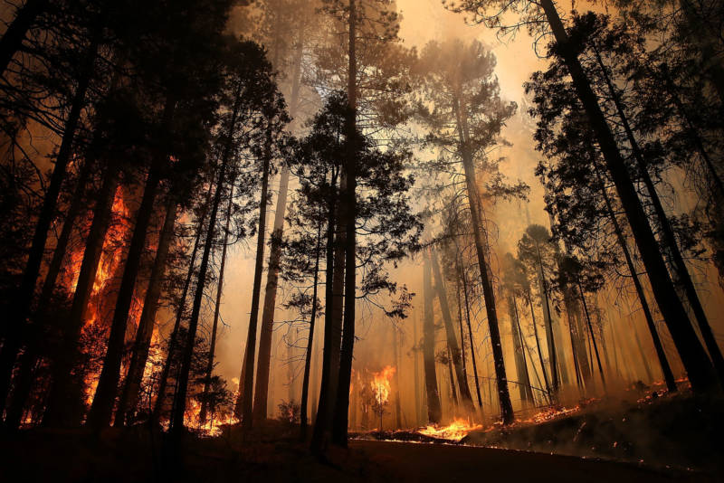 Flames from the Rim Fire consume trees on August 25, 2013 near Groveland.
