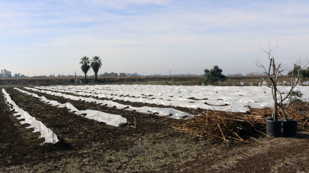Kaying and Sam Moua have planted thousands of moringa trees. In the winter, they cut the trees back and cover them with thick white plastic to keep the roots warm until spring.