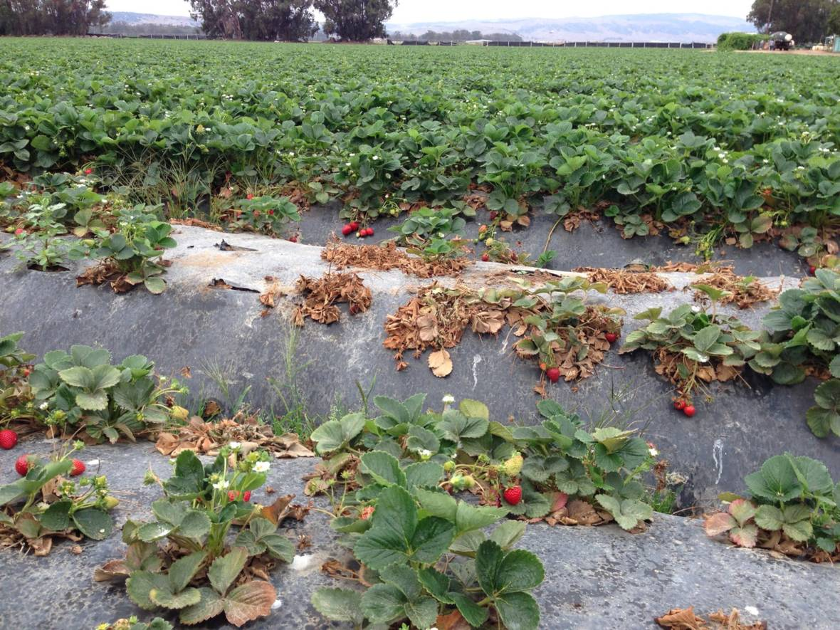 Healthy to Eat, Unhealthy to Grow: Strawberries Embody the Contradictions of California Agriculture