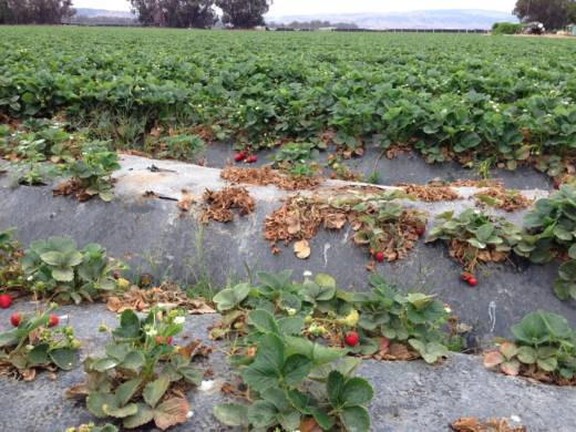 Field of diseased strawberries