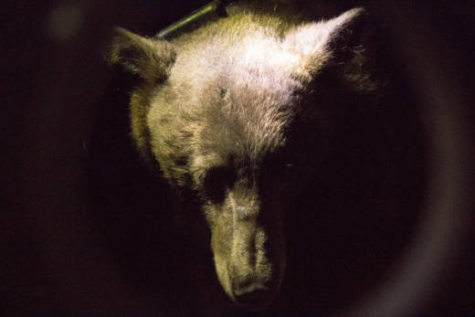 Rescuers brought two adult bears to veterinarians with the state Department of Fish and Wildlife and the University of California, Davis after the animals were hurt in the Thomas Fire.