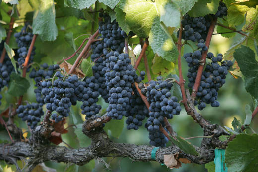 "Pinot Noir grapes just before they are harvested. A 2018 study finds that grapevines in California's Napa Valley were not at risk of dying from ""even very dry conditions."""