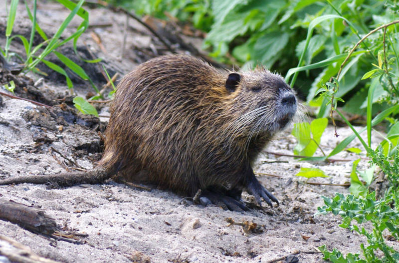 The California Department of Fish and Wildlife allows anyone with a hunting license to kill up to five nutria per person per day -- and they encourage people to eat their catch.