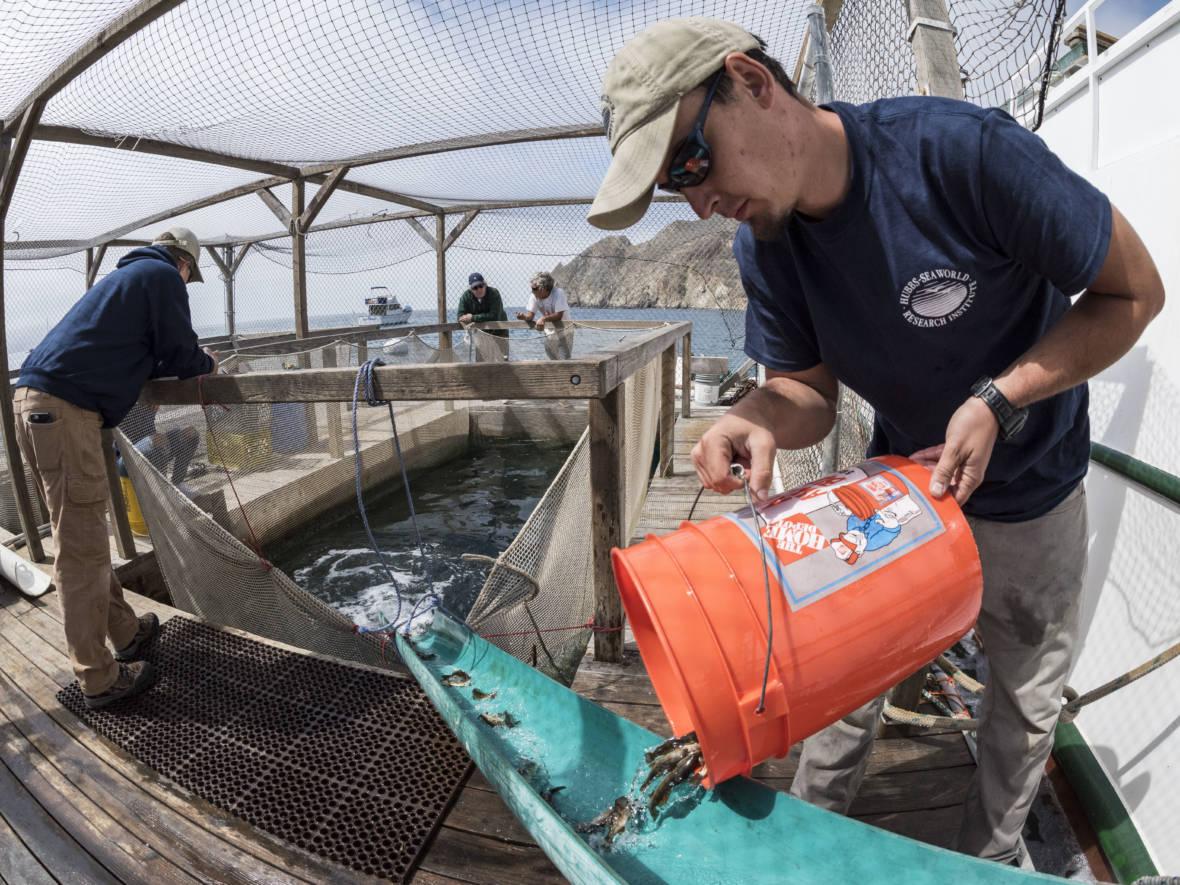 $40 Million Later, Effort to Boost California's White Seabass Stocks Shows Little Success