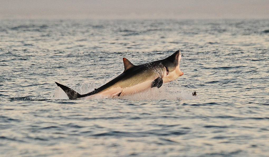 A Great White shark jumps out of the water as it hunts seals.