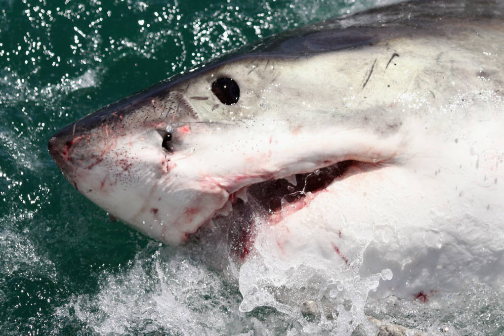 The face of a great white shark.