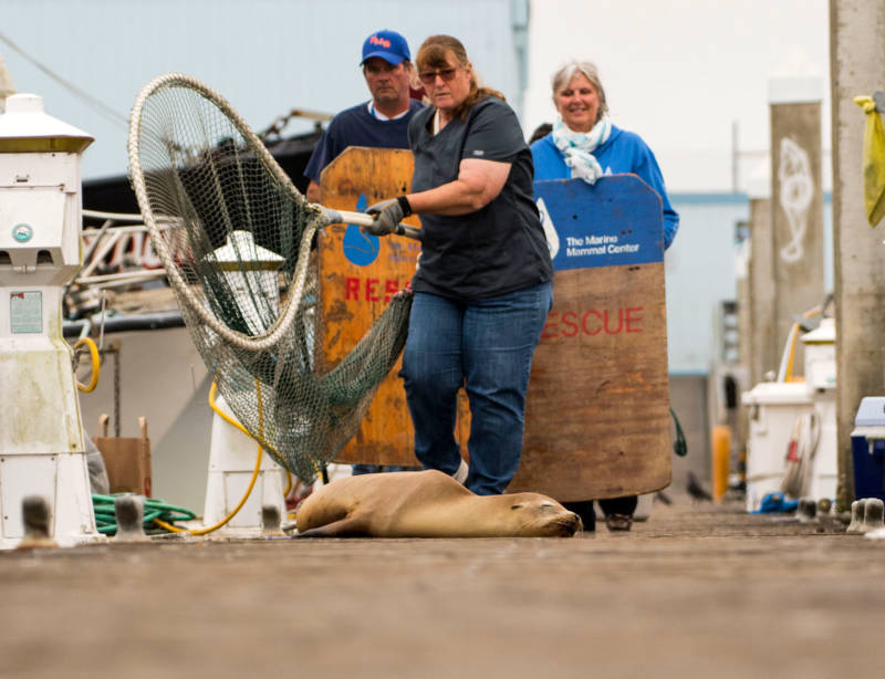 Volunteers from The Marine Mammal Center in Sausalito prepare to rescue a young California sea lion.