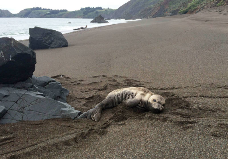 An elephant seal pup rests on a Central California beach prior to rescue by trained responders from The Marine Mammal Center. From mid-February through the end of June, the Center's rescue and rehabilitation work focuses on orphaned elephant seal and harbor seal pups.