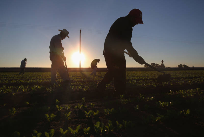 Agricultural workers cultivate romaine lettuce on a farm in Holtville, California.