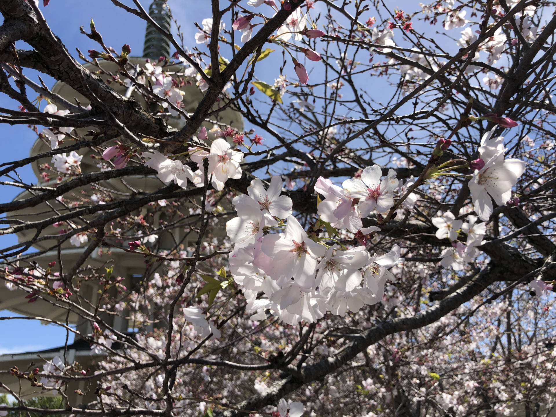 The Northern California Cherry Blossom Festival took place in San Francisco's Japantown.  Alyssa Jeong Perry/KQED
