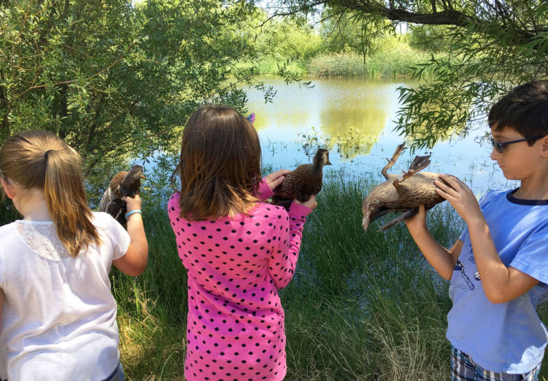 Young people prepare to release ducks raised from salvaged eggs onto habitat at a private hunting club.