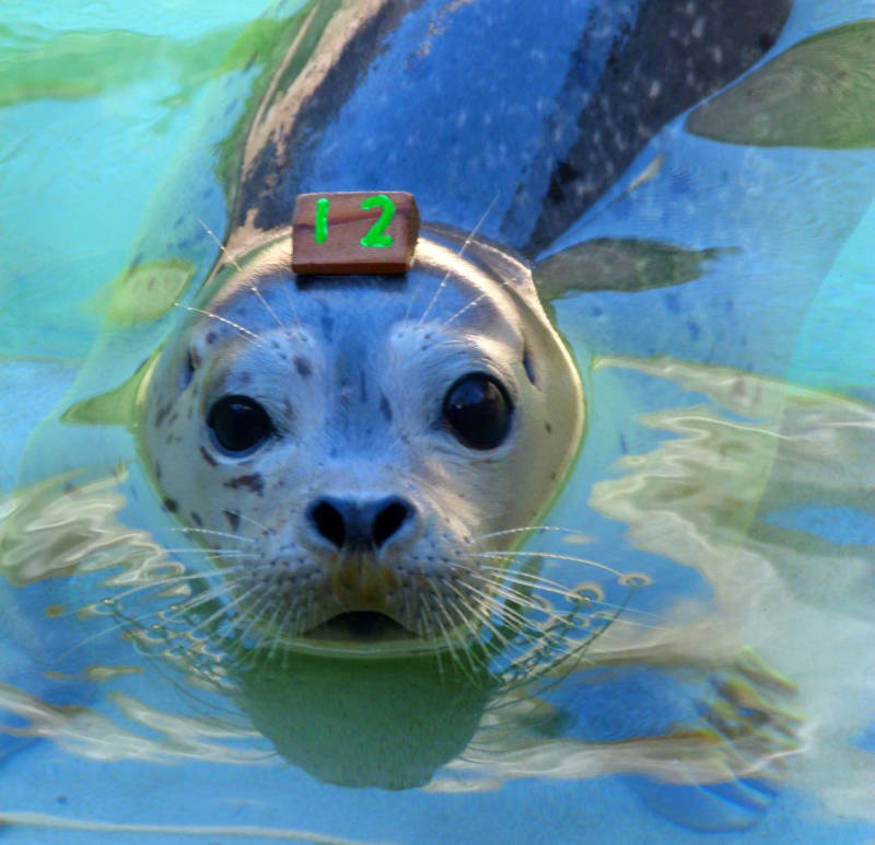 Pebbles, a female Pacific harbor seal pup, was rescued near Monterey by trained responders from The Marine Mammal Center last spring. Pebbles was one of 11 harbor seal pups rescued due to human interaction that resulted in maternal separation.