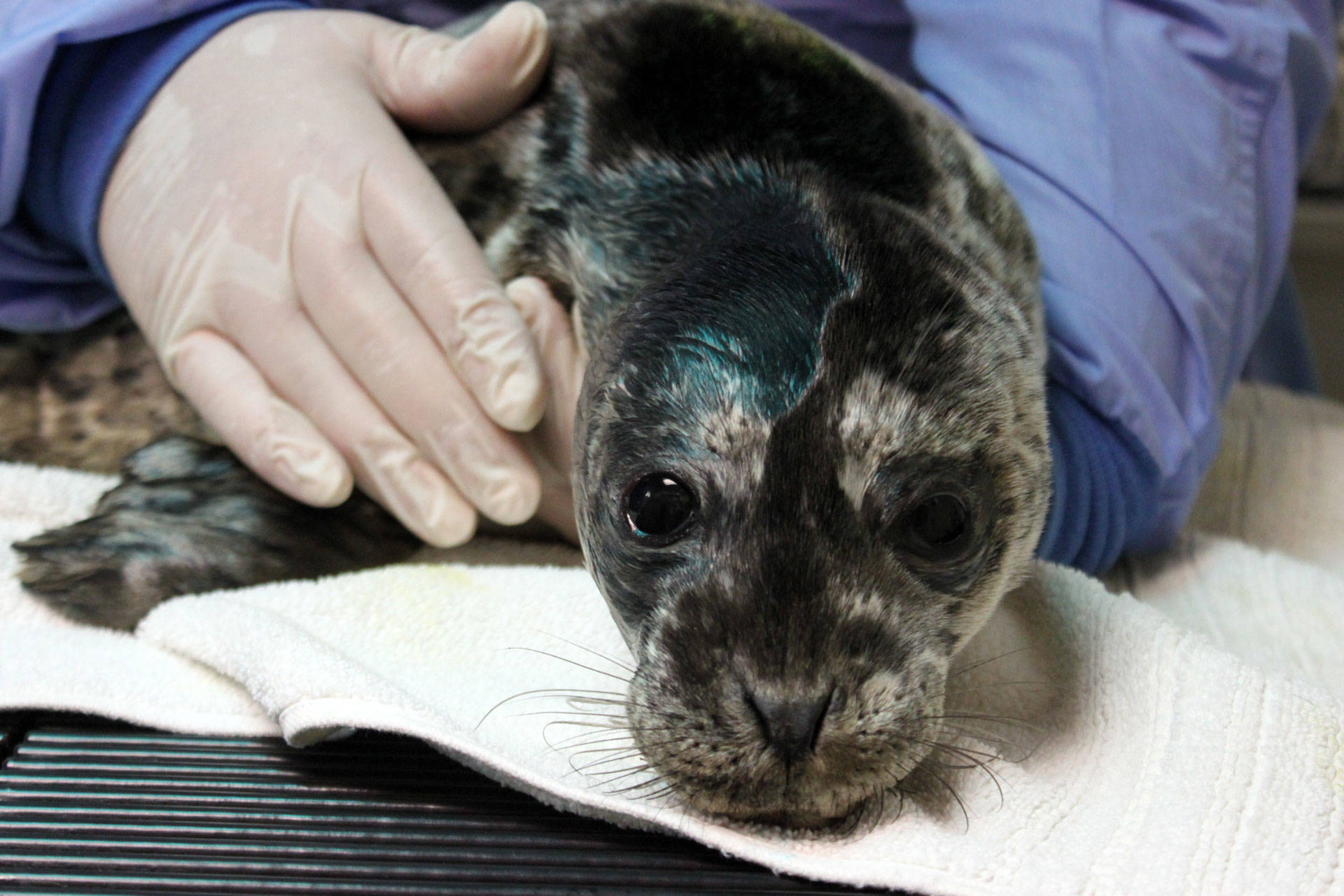 hey people leave those seal pups alone the california report