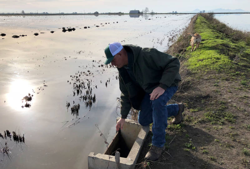 "Josh Sheppard removes wooden boards, releasing water from a rice field as part of a ""variable draw down,"" releasing water from a quarter of his fields at a time, creating a variety of habitat for different migrating birds."