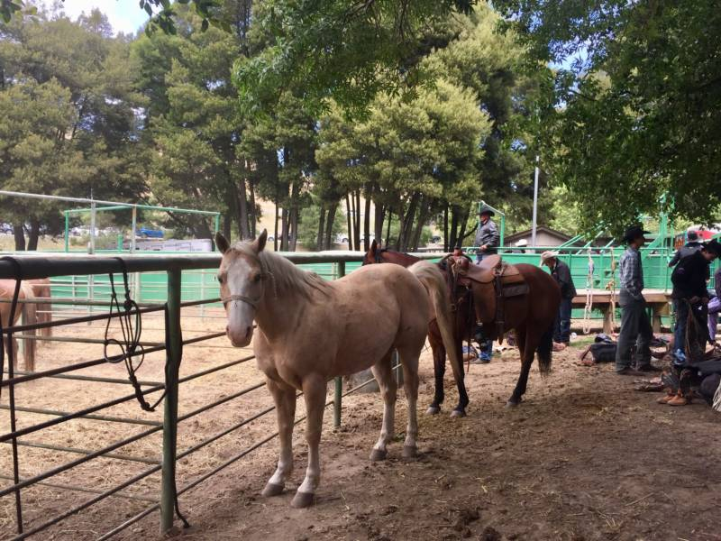 Behind the arena horses are collected in pens as cowboys get ready for the bareback riding event. Families and kids could interact with some of the animals at the 'Cowboy Experience' at the rodeo.