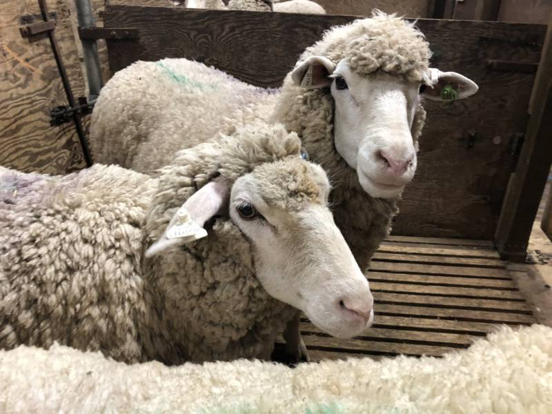 These sheep are next in line for a buzz from first-time shearers at the UC Cooperative Extension Sheep Shearing School in Hopland.