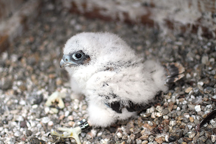 The third and final peregrine falcon chick born atop the Campanile bell tower on UC Berkeley's campus.