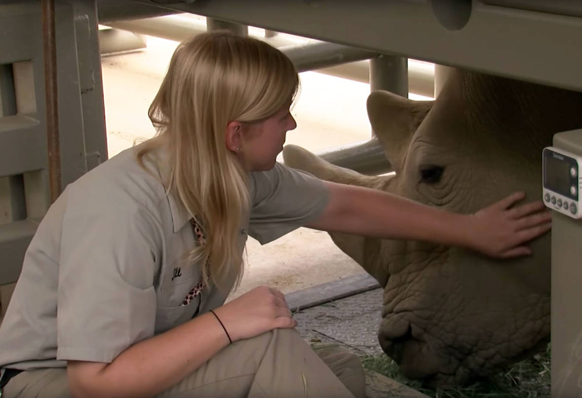 White Rhino in San Diego Pregnant, Could Help Save Subspecies