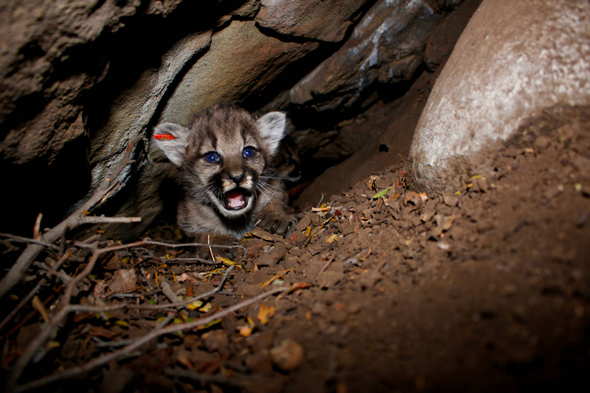 National Park Service researchers discovered a litter of four mountain lion kittens in the Simi Hills, a small area of habitat wedged between the larger Santa Monica and Santa Susana mountain ranges. All four kittens are females and are now known as P-66, P-67, P-68, and P-69. Their mom is P-62. National Park Service
