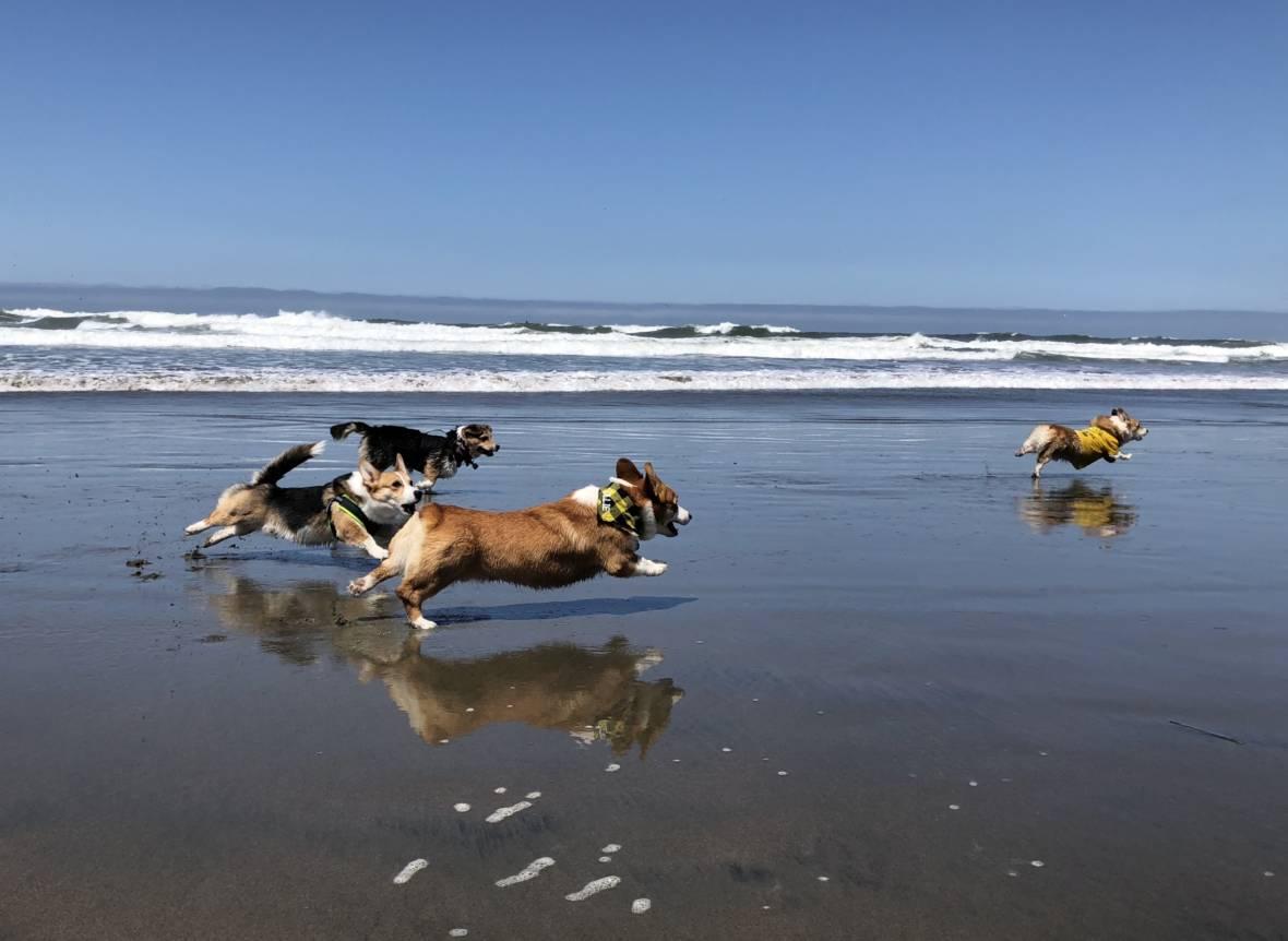 PHOTOS: Corgis Take Ocean Beach by Storm