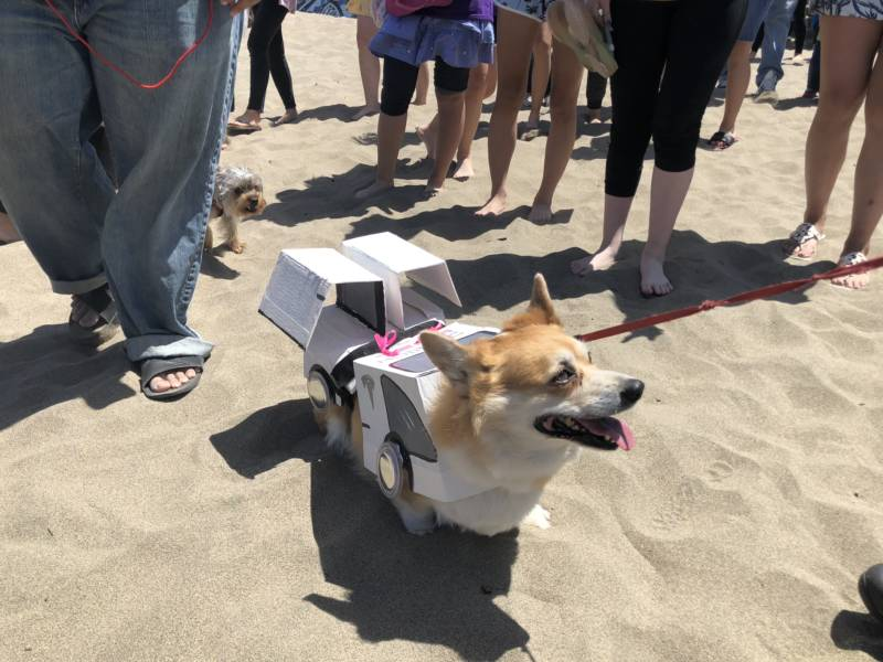 "A costume contest portion of Corgi Con brought out the creative side in some people. This pup is dressed up as a Tesla Model C (""C"" for corgi)."