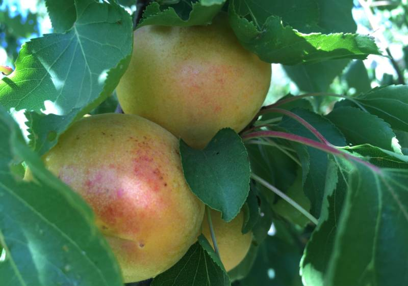 Andy Mariani of Andy's Orchard in Morgan Hill has recently begun growing white apricots, a common sight in Central Asia. Mariani says the flesh tastes almost of melon and the kernels are sweet and edible, not unlike an almond.