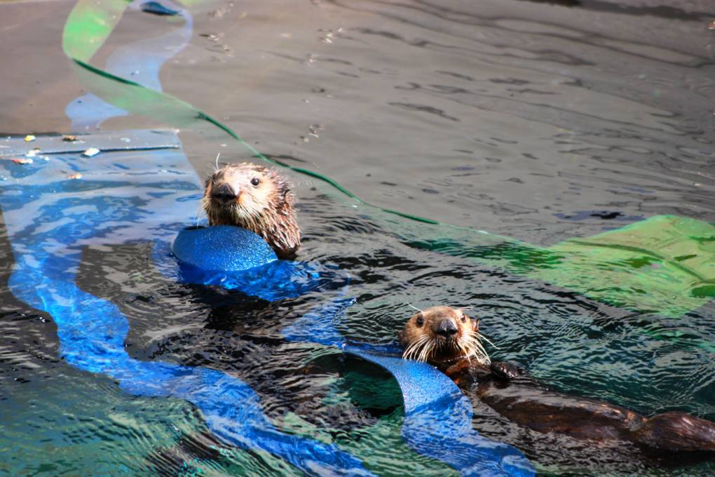 The Marine Mammal Center is currently rehabilitating three southern sea otters and needs the public's help to provide one special otter with a name. Langly (right) and her companion (left).